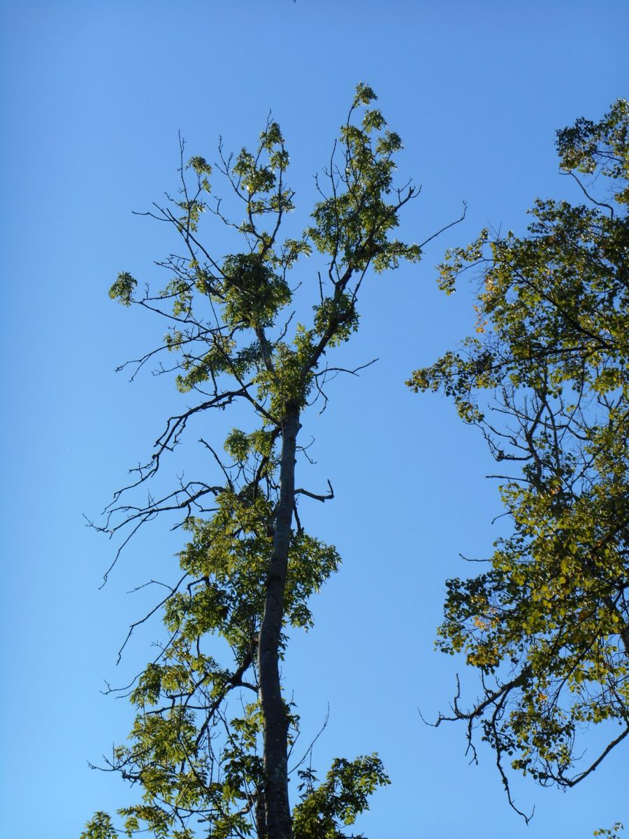 Dying ash tree   Photo credit: Ruth Mitchell