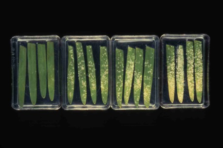 Detached barley leaves cv. Golden Promise sprayed with a yeast-derived resistance elicitor 24 hours before inoculation with mildew. Photograph above shows; (far right) untreated leaves; and (left) three sets of leaves treated with various yeast-derived elicitor formulations. Elicitation of resistance is not associated with any deleterious effects on the plant and the treatment on the far left shows excellent control of mildew