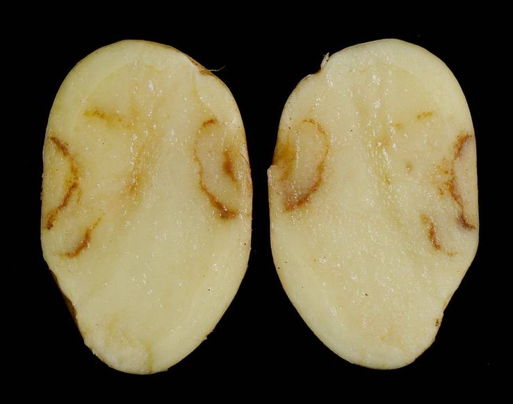 TRV 'spraing' symptoms in potato tuber