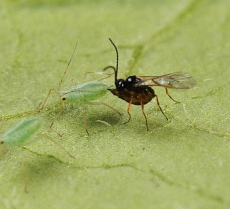 Parasitoid wasp and aphid