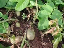 Blackleg on potato stems