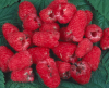 Raspberries damaged by beetle