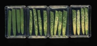 Detached barley leaves cv. Golden Promise sprayed with a yeast-derived resistance elicitor 24 hours before inoculation with mildew.
