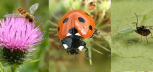 Hoverflies, ladybird and parasitoid wasp.